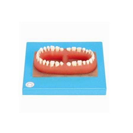 set gigi dewasa